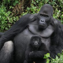 Vacations Magazine: A Triumph in Mountain Gorilla Conservation