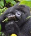 Vacations Magazine: Making Strides in Mountain Gorilla Conservation